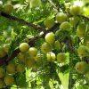 गुणकारी फल अमला